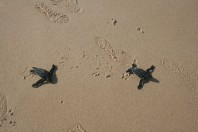 How tourism is taking the turtles from Kenya's blue waters