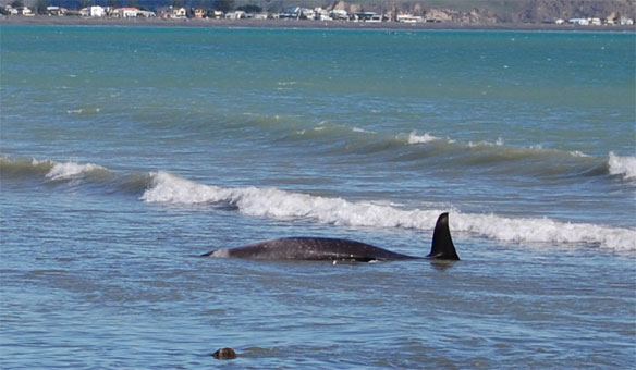 Ninety Whales Stranded on New Zealand Beach