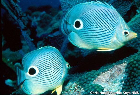 butterflyfish-nasa
