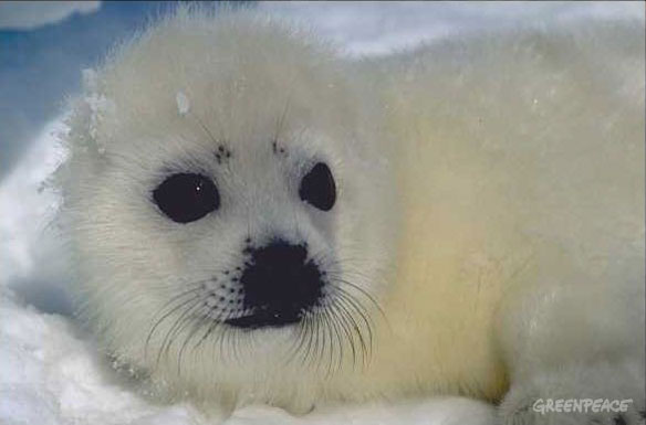 harp seal climate change