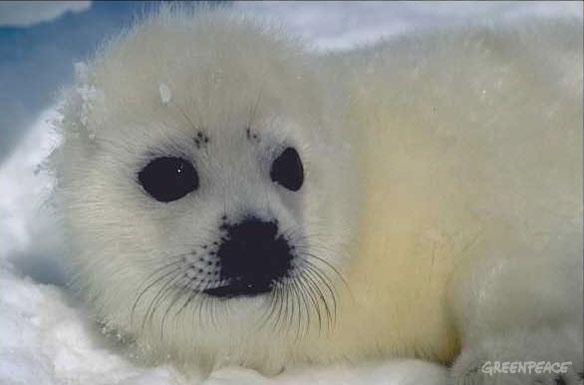 Dramatic Loss of Harp Seals Amid Warming: Study