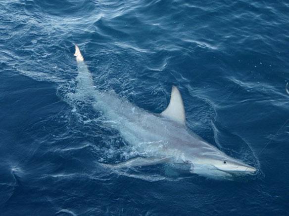 World-first Hybrid Shark Found Off Australia