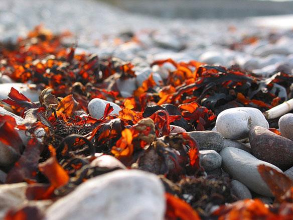 Breakthrough in Seaweed Biofuel Reported