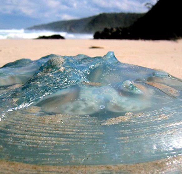meduse-bleue