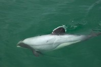 Large Marine Protected Areas Work for Dolphins