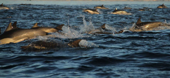615 Dead Dolphins Discovered on Peruvian Coast, acoustic tests for oil to blame?