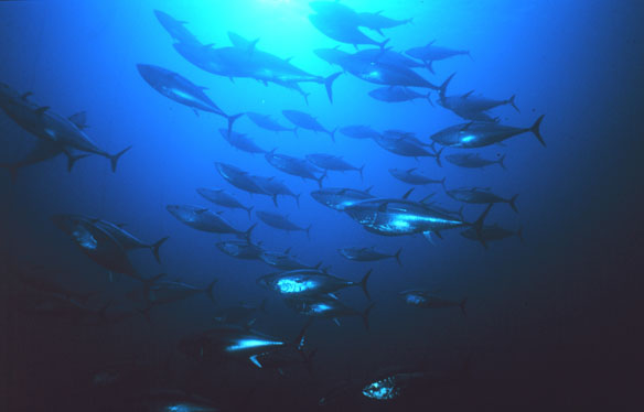 How global regulators are selling out the world's largest tuna