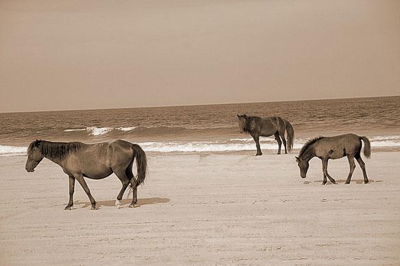 corolla-beach-wild-horses