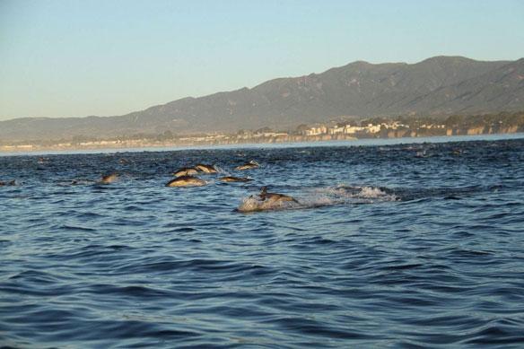 dolphins-california-coast