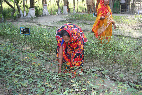 mangrove-bangladesh