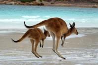 kangourous-australie