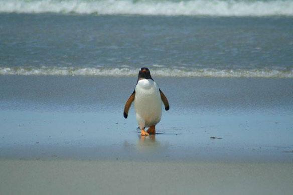 penguin-brazil