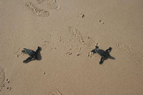 Trinidad Leatherback Turtle Hatchlings Crushed