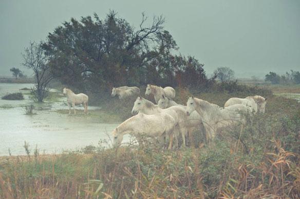 camargue-chevaux