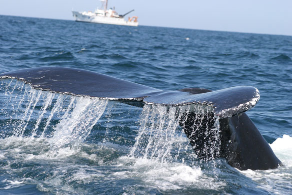 Close to Shore, Humpbacks Are Far From Safe