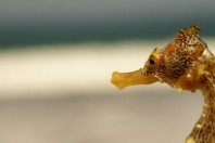Peru Seizes 16,000 Dried Seahorses Headed to Asia
