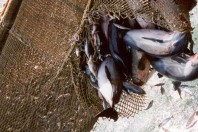 Dolphins tear up nets as fish numbers fall