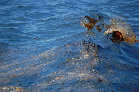 Oil From BP Spill Uncovered By Isaac's Waves