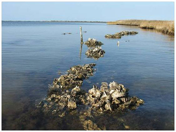Oyster Shells Are an Antacid to the Oceans
