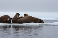 Melting sea ice forces walruses ashore in Alaska