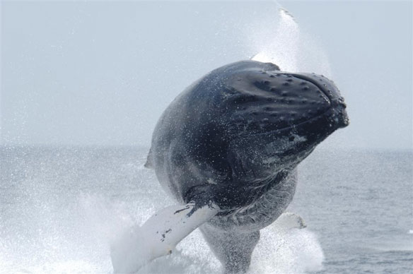 In pictures: Humpbacks Feed Close To Shore, Norway