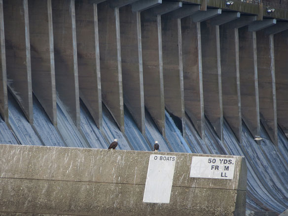 Hydropower Dams Hamper Migrating Fish Despite Passage Features, Study Finds