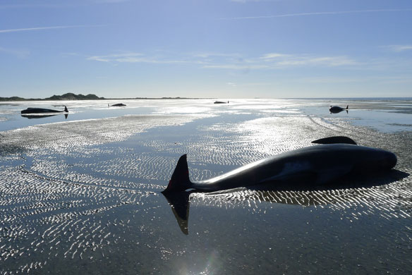 More than 400 whales beach themselves in New Zealand