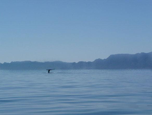 blue-whale-sea-of-cortez