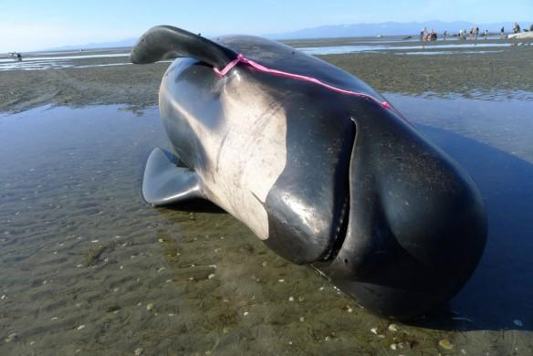 pilot-whales-stranding-nz