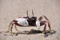 Horned Ghost Crabs Change Camouflage From Day To Night