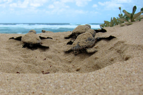 Deserted beaches are a boon to sea turtles during nesting season