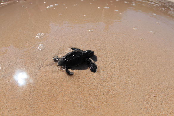 turtle-hatchling-3