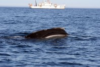 This Could Be the 'Beginning of the End' for North Atlantic Right Whales