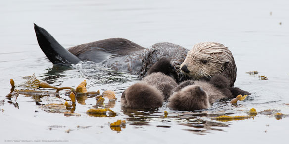 Sea Otters: Combat Water Pollution And Promote Recovery of Seagrass Beds