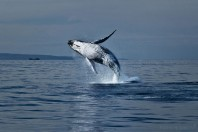 South Atlantic humpback whales have rebounded from near extinction