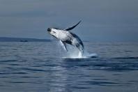 Japan Kills 200 Pregnant Minke Whales