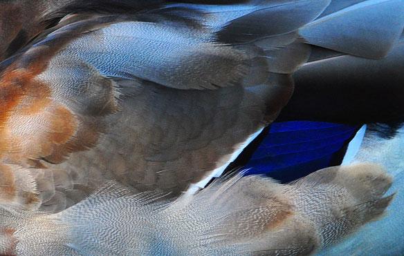 mallard-duck-feathers