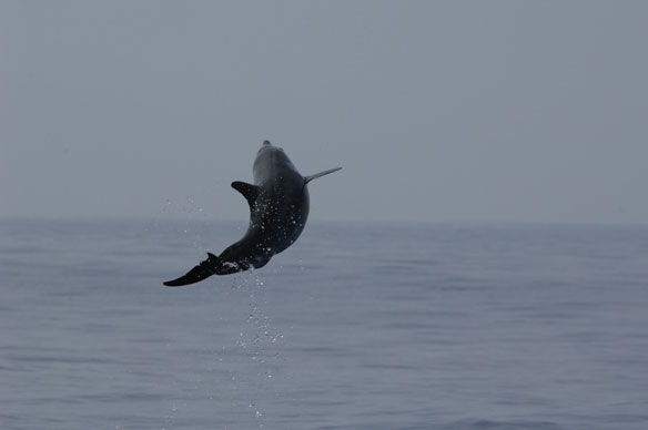 melon-headed-whale-jumping