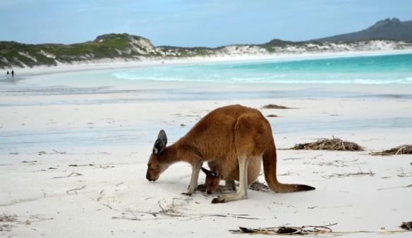 beach-kangaroo-australia