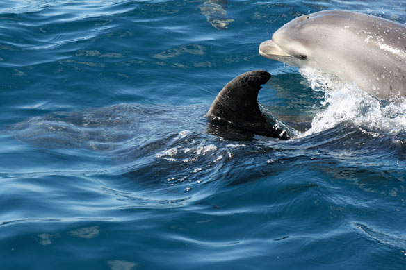 Study Links BP Oil Spill To Dolphin Deaths