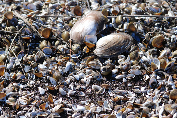 Imperiled Mussels May be Further Harmed by Climate Change