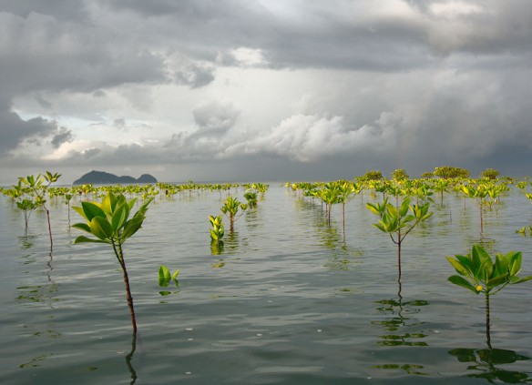 mangrove-seedlings