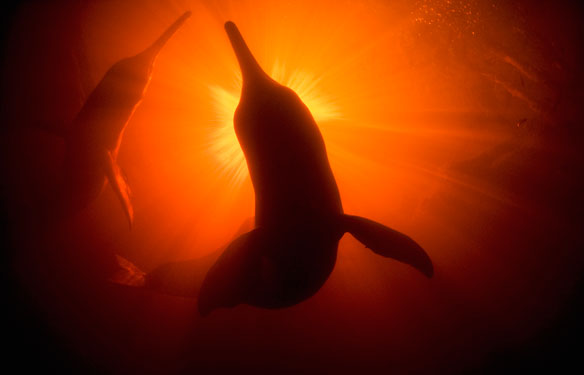 amazon-river-dolphins