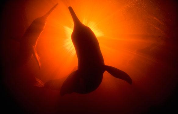 amazon-river-dolphins