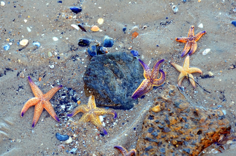 Mass Sea Star Deaths Off US West Coast Puzzle Scientists