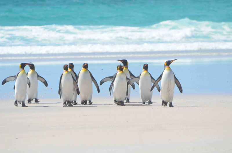 As climate change worsens, king penguins will need to move — or they'll die