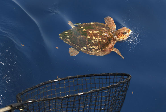Nesting Gulf Sea Turtles Feed in Waters Filled With Threats