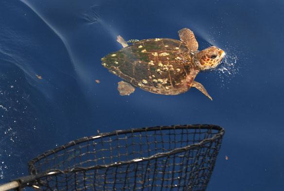 loggerhead-turtle-gulf-oil