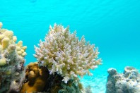 NOAA Lists 20 Coral Species As Threatened