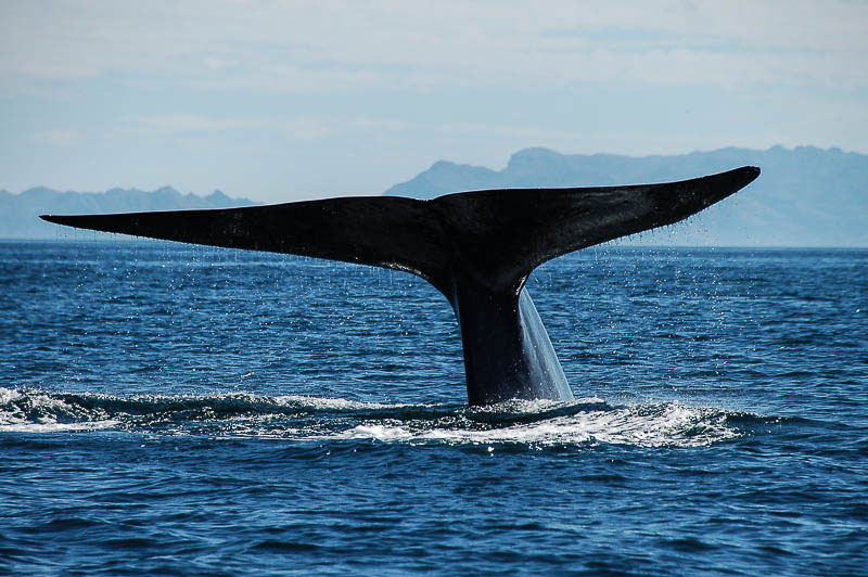 Study: Why Blue Whales Can't Avoid Barges, Ocean Liners